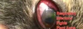 Eye Infection and Ulcer in a Cat's Eye