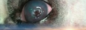 Conjunctival flap in plastic surgery in dogs descemetocele part 1
