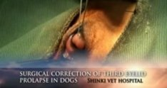 surgical correction of third eyelid prolapse in dogs